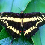Colombian Butterfly
